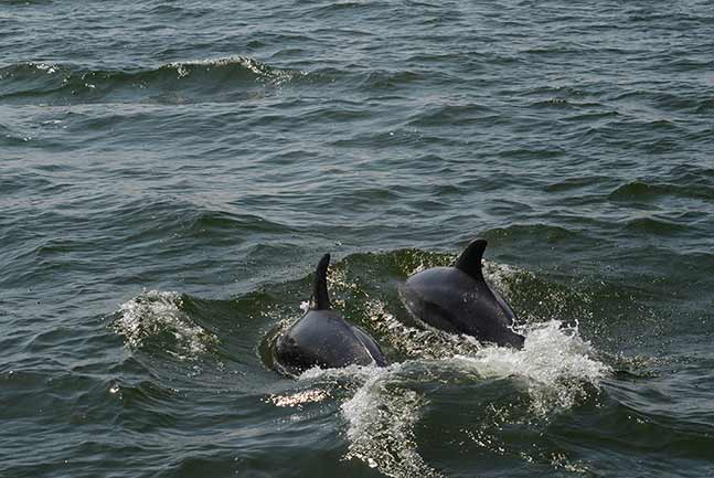 Dolphins emerging out of water
